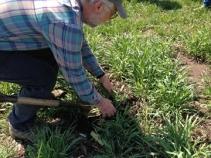Kaspar_digging_cover_crops_blog
