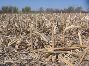 Residue_corn_close