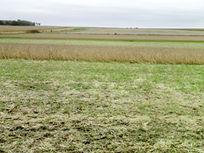 The plot containing cover crop mixes on the Rick Juchems farm, taken on Oct. 19, show that as the soybeans come out the cover crops are growing well.