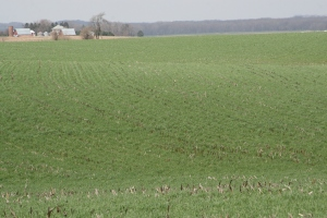 Cereal Rye at Steve Berger's Farm