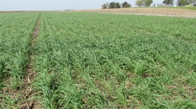 Rye_in_soybean_SE_ISU_research_farm