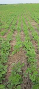 Weldon_FD_soybean_field_dead_rye