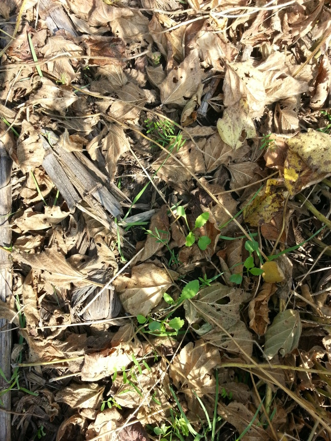 Cover Crop Mixture used in Soybeans (Blend of oats, radish, and hairy vetch)