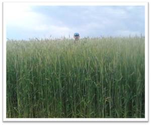 Gowing Triticale for Seed
