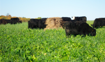 Cattle_grazing_brassicas