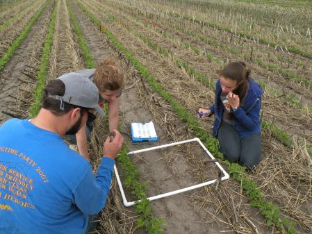 Carefully examining the soil for signs of earthworm activity in a  soybean plot with cover crops.