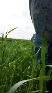 Take a look at how high my dad's cover crop is with him standing at the edge of the picture... waist high rye!