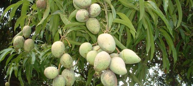 Mangoes trees are a common site across the country of Belize