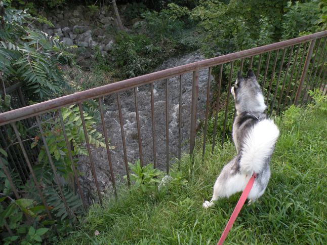 Conservation Dog Jackie checking out the creek as the waters rise