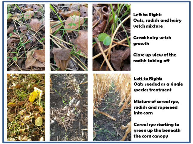 Nashua Cover Crops Fall 2015