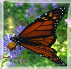 Bees-05(monarch)