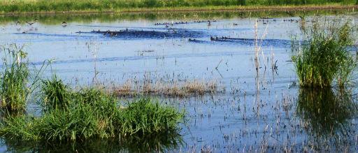 Ducks in wetland Iowa
