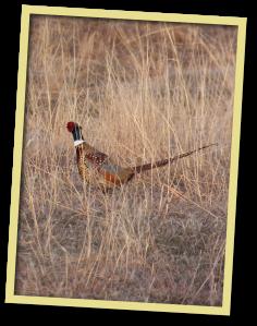 Janke-Pheasant