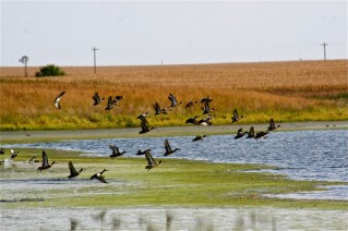 Geese take flight from a CREP wetland