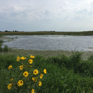 A CREP wetland in late August in Iowa.