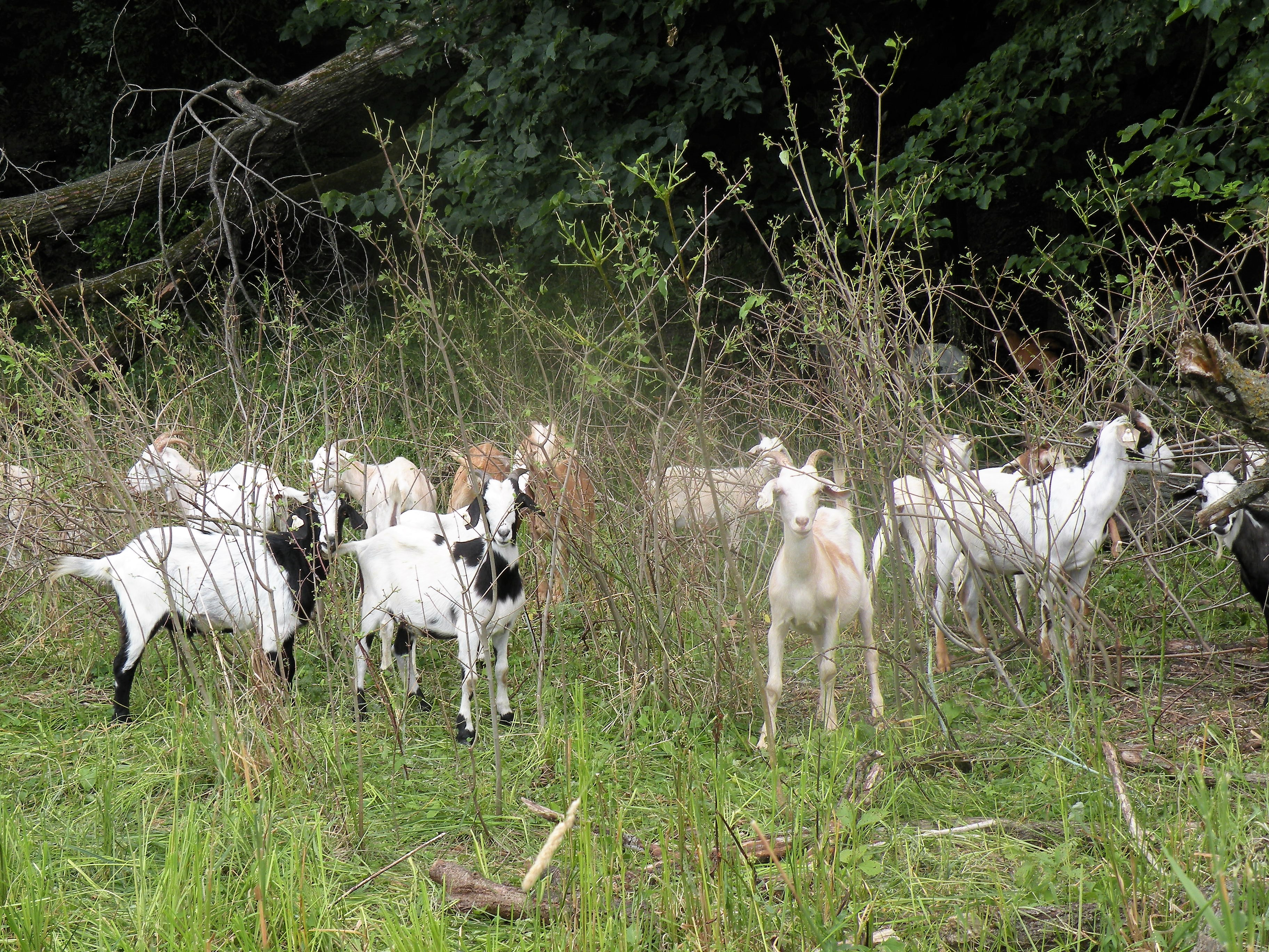 Conservation Gone to the Goats! – Iowa Learning Farms