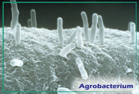 AgrobacteriumBorder