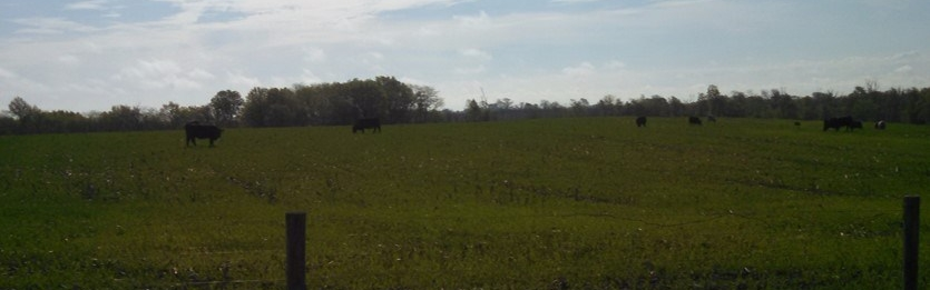 Swanson Cattle_Cover Crop4