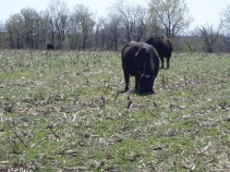 cover crop cows
