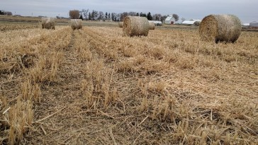 Figure 4. Miscanthus in round or square bales. Photo credit: ISU Biomass